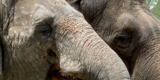 Toronto Zoo Keepers Fight Move To Send Elephants To
