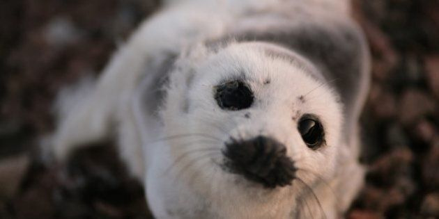 Canadian Seal Hunt To Be Debated In