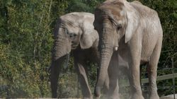 Toronto Zoo Accreditation At Risk Following Elephant Transfer