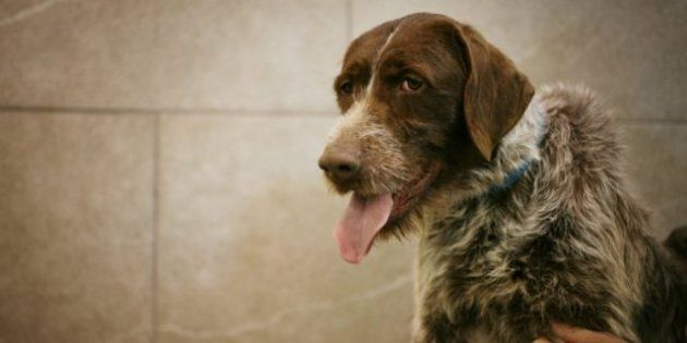 Abused Quebec Dogs: Adoption Hopes Loom
