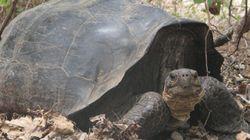'Extinct' Tortoise Likely Still