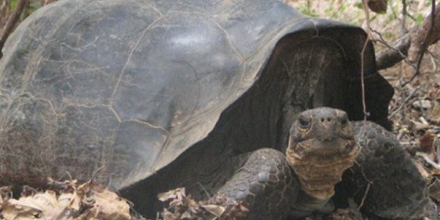 'Extinct' Tortoise Likely Still Exists, Scientists