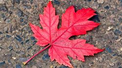 Maple Leaf At Risk Of