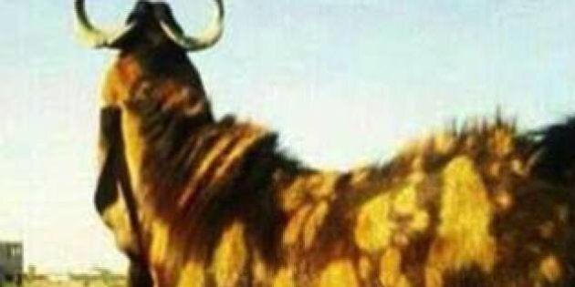 Million-Dollar Goat Sold In Saudi