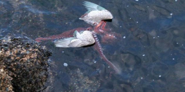 Octopus Eats Seagull: Rare Attack Filmed By Victoria