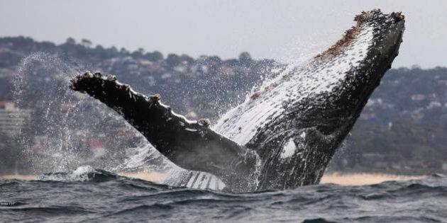 Humpback Whales In B.C.: Tankers, Oil Spills Threaten Mammals, Study