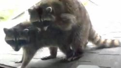 WATCH: Man Catches Raccoons In The