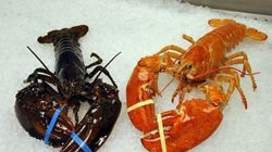 One-In-10-Million Orange Lobster Avoids Hot