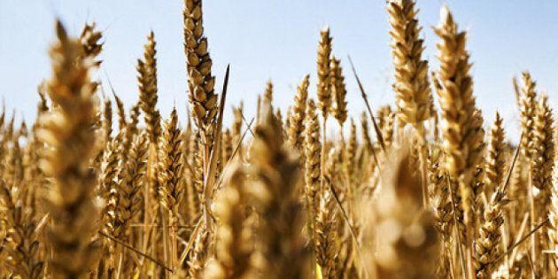 Canadian Wheat Board Monopoly Challenged By Alberta, Saskatchewan And British