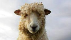 Baaaaad Sheep-Nappers On The