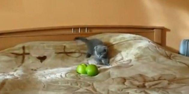 Kitten vs. Apples
