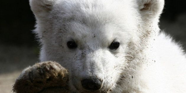 Canada Polar Bears Getting Protection Under Species At-Risk
