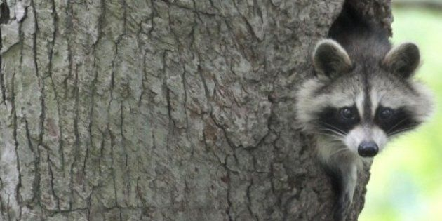 Toronto Raccoon Attack: Case Delayed Until