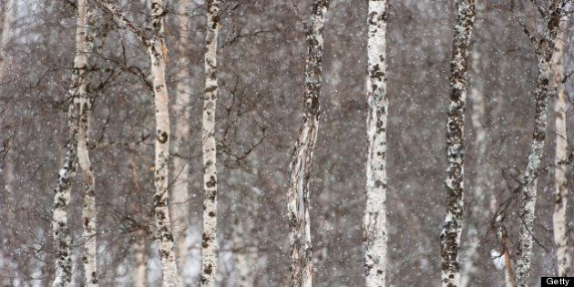 Birch tree forest (Betula verrucosa) under the snowfall in winter,