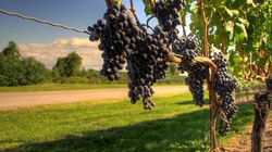 Grape Depression: Ontario's Wineries Under Threat From Climate