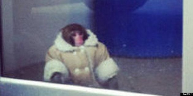 Ikea Monkey Darwin Not Being Returned To Owner: