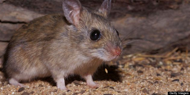 A Spinifex Hopping Mouse dropping seed from its mouth whilst