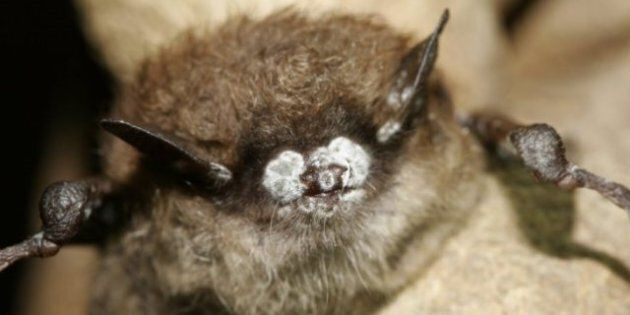 White Nose Syndrome: Millions Of Bats Killed In U.S. And Canada By Fungal