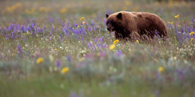 Black Bear walking through meadow in Waterton Lakes National Park, Alberta,