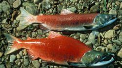 MASSIVE Salmon Slaughter Takes
