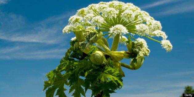 Giant Hogweed (Heracleum mantegazzianum) Usk Valley, Clytha Estate, Monmouthshire, South
