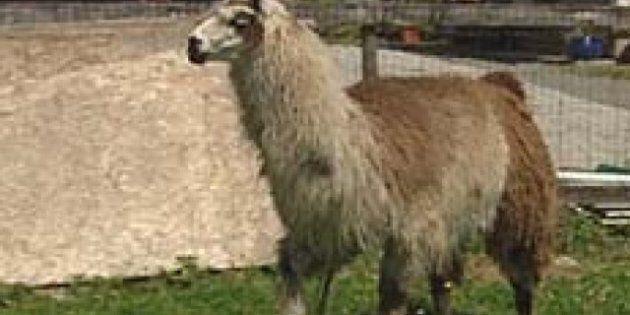 Llama Attack 'A Nightmare,' Senior