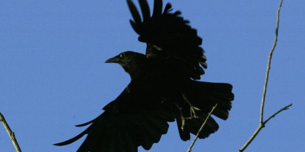 LOS ANGELES - JULY 10: An American crow lands on a tree in an area where dead and dying crows have become...