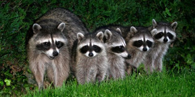 Raccoon Population Surging, Roundworm Rates Could Also Be