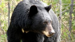 145 Black Bears Killed In Oil