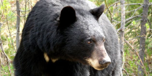 145 Black Bears Killed In Alberta Oil