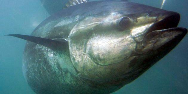 Radioactive Bluefin Tuna From Japan Caught Off California