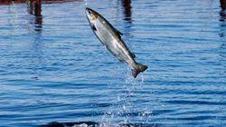 Virus Confirmed At B.C. Salmon