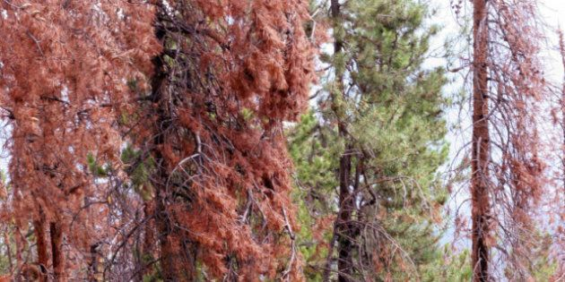 Pine Beetles Contributing To Forest Smog, Study