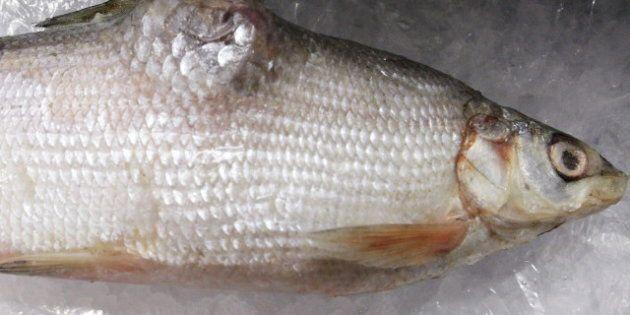 Deformed Oil Sands Fish? Mercury In Fish Not Increasing, Environment Canada Study