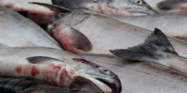 Kristi Miller, Fisheries Scientist, Tells Inquiry Her Work Was Muzzled By