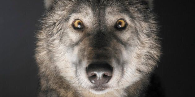 Grey Wolf (Canis lupus), close