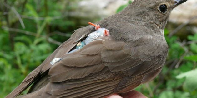 Birds With Backpacks Help UBC Track Bird