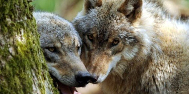 B.C.'s Open Season On Wolves: Ranchers Relieved But Critics Rankled By Suspect