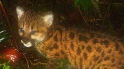 LOOK: Baby Cougar! Baby