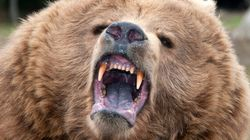 Another Grizzly Attack In