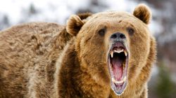 Grizzly Bear Attacks Dog In Banff National