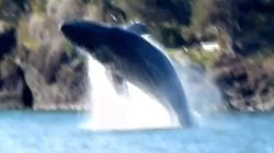 WATCH: Humpback Whale Breaches In Howe