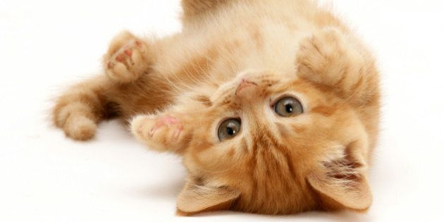 Ginger kitten rolling on its