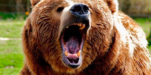 Grizzly Bear Attack Survivor On Butler Ridge In Good