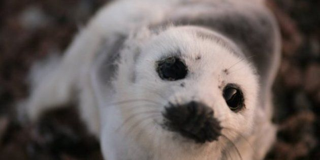 Seal Hunt: Canada's Industry Dealt Another Blow By Russian
