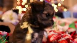 Cute Puppies Play With Presents, Make