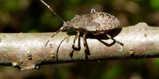 Stink Bugs Put BC On Alert After Crop-Munchers Appear In