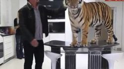 Couples Lives With Giant Tiger As House