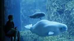 Another Beluga Whale Dies At Vancouver