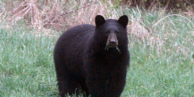 FILE - In this April 22, 2012 , file photo, a black bear grazes in a field in Calais, Vt. Vermont Fish...